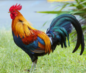 A real rooster picture